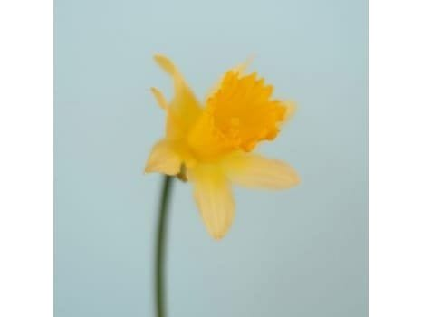 British Flowers Part 2: Daffodil