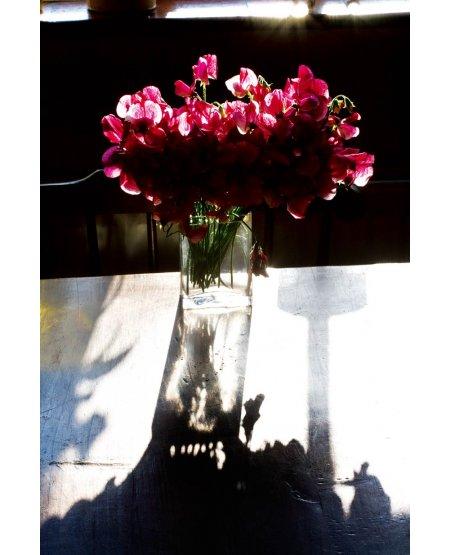 Sweet Peas in Dawn Sunlight, Giclée Print