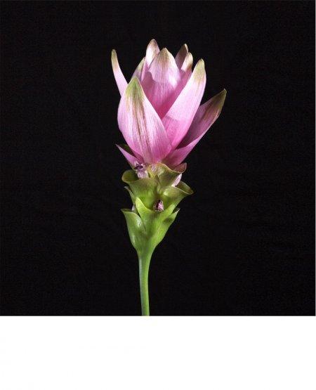 Flowering Curcuma - Siam Tulip