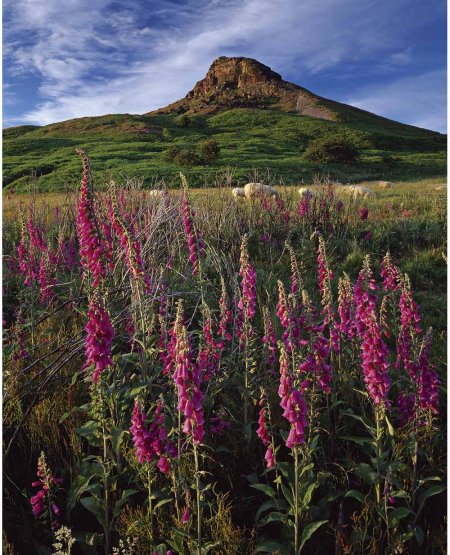 Wild foxgloves, sheep, Roseberry Topping  North York Moors