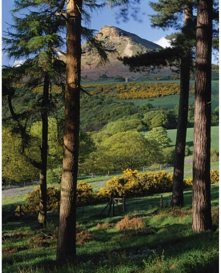Larch and pine, light and shade, Roseberry Topping  North York Moors