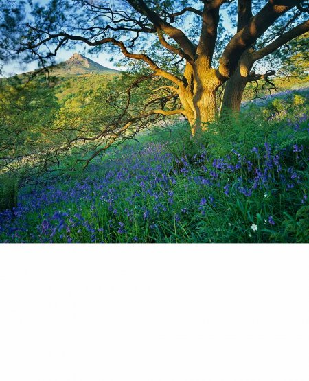 Oak shaded bluebells  North York Moors