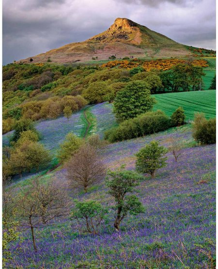 Roseberry bluebells