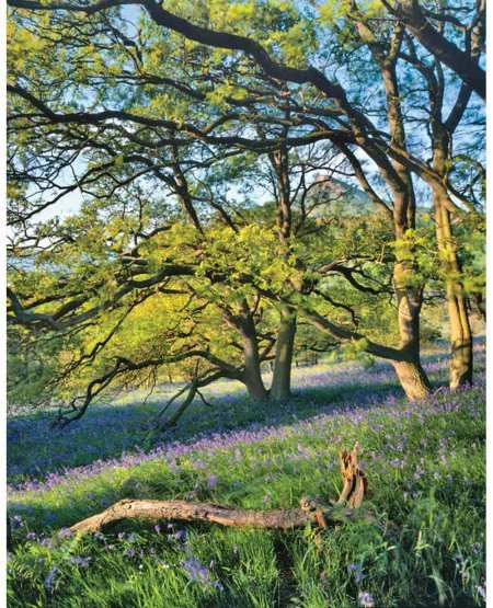 Under Roseberry, bluebells