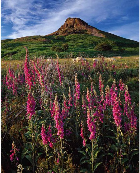 Wild foxgloves, sheep, Roseberry Topping