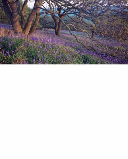 Bluebells and oakwood, Newton-under-Roseberry