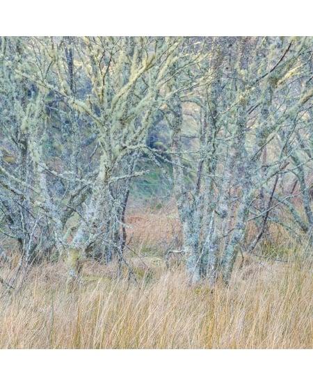Lichen covered birches and grass, Crinan by Lizzie Shepherd