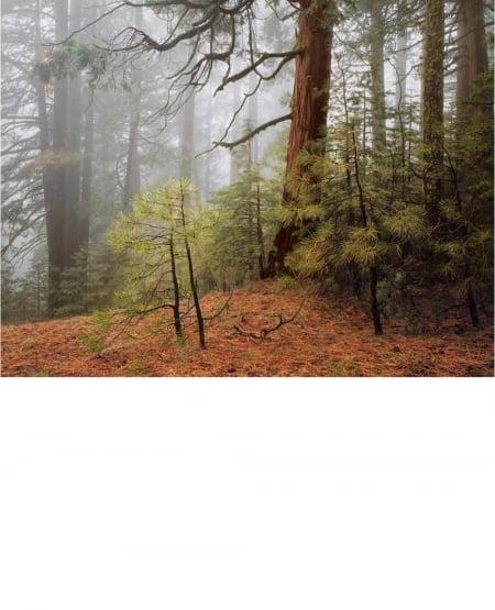 Trees in Fog, Wawona Road, Yosemite