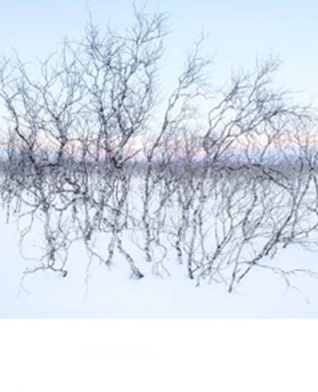 Arctic birches, Abisko