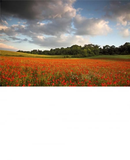 Poppy Field, Surrey