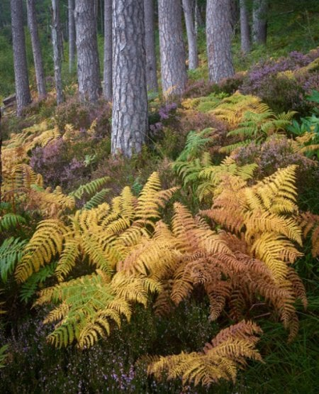 Bracken & heather, Caledonian pines, Torridon