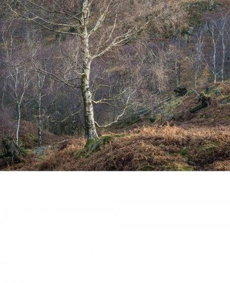 Sidelit silver birches, Lake District