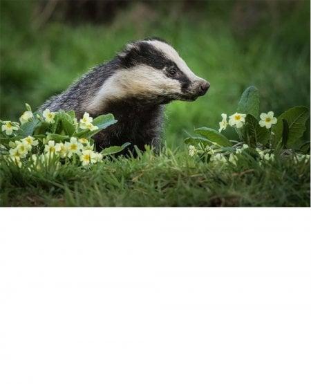 Primrose Badger