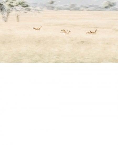 Dreaming of Impala, Kenya