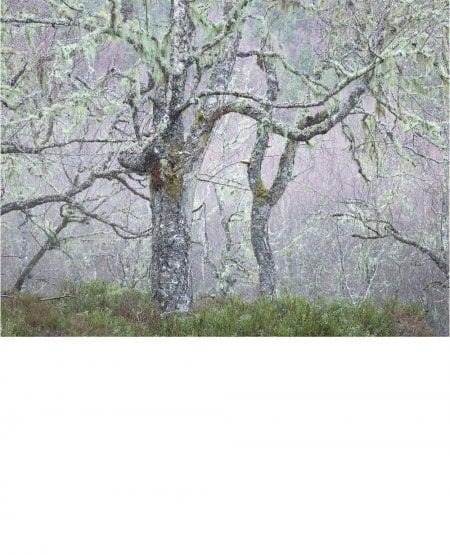 Birch woods, rain Glen Affric