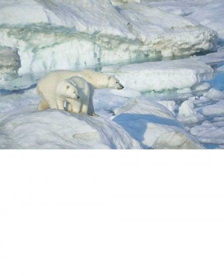 Mother and cub, Wrangel Island
