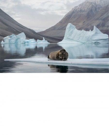 Bearded seal, East Greenland