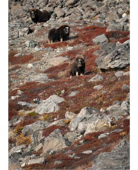 Musk Ox watch, East Greenland