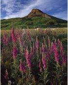 Wild foxgloves, sheep, Roseberry Topping  North York Moors