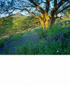 Oak shaded bluebells  North York Moors