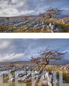 Stand alone hawthorn, Southerscales  Yorkshire Dales