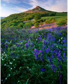 Brambles & bluebells, Roseberry Topping