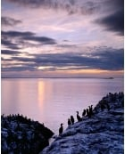 Colony of shags, Farne Islands