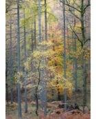 Birch and larches, Borrowdale