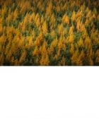 Fur Trees