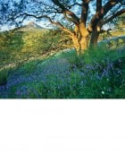 Oak-shaded bluebells