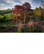 Copper Beeches, Foxgloves, Roseberry Topping