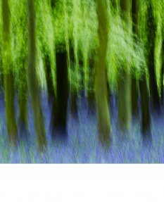 Spring Woods with Bluebells