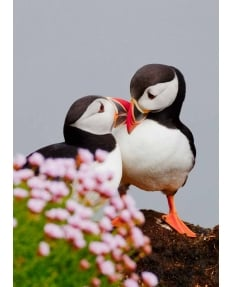 'Love Birds' - Puffins Fratercula Arctica