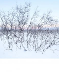 Arctic birches, Abisko