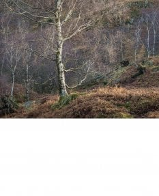 Sidelit silver birches, Lake District