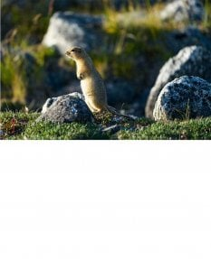 Ground squirrel, Russian Far East