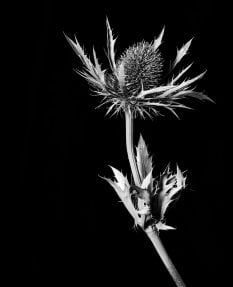 Sea Holly in Isolation